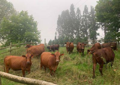 Cows in calf